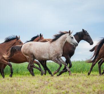 Pferde rennen auf Koppel