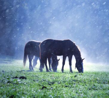 Zwei Pferde grasen im Regen auf der Weide