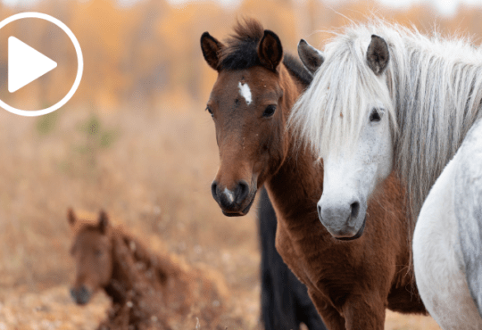 Video_drei Ponys