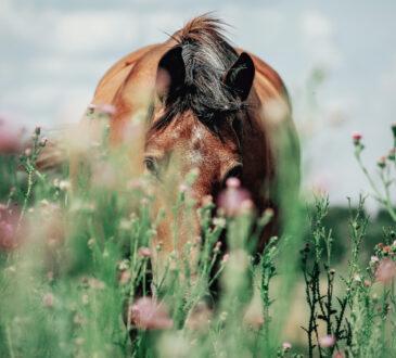 Altes, braunes Pferd versteckt hinter rosa Blumen
