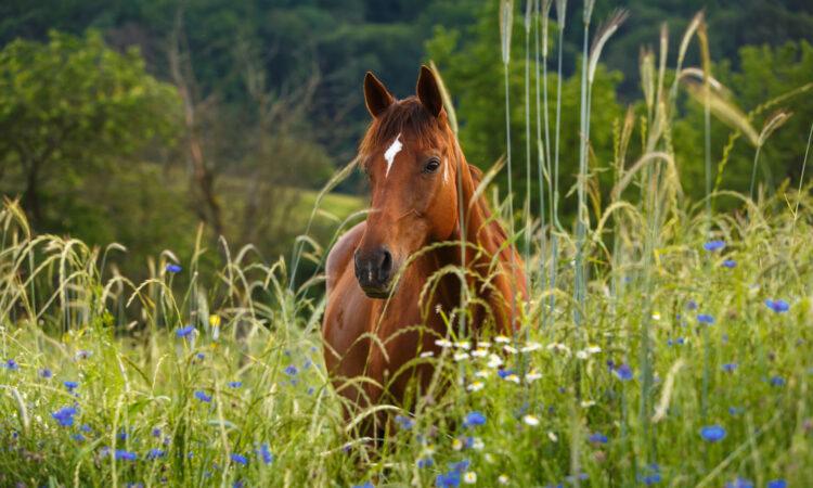 Braunes Pferd im Kornblumenfeld