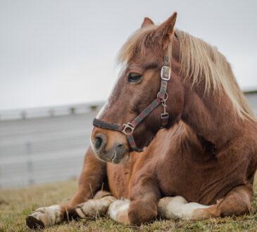 Altes, liegendes Pferd