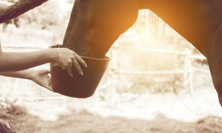Pferd bekommt Futter aus einem Eimer gereicht