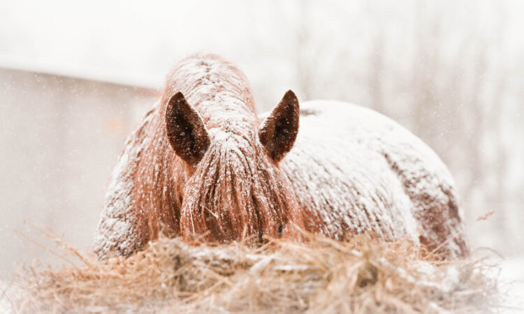Pferd bedeckt von Schnee frisst Heu