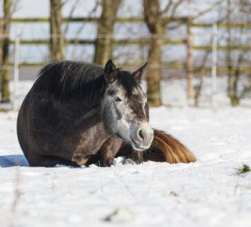 Graues Pony liegt im Schnee auf der Wiese