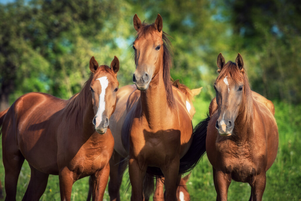 Drei braune, junge Pferde, im Hintergrund ein Wald