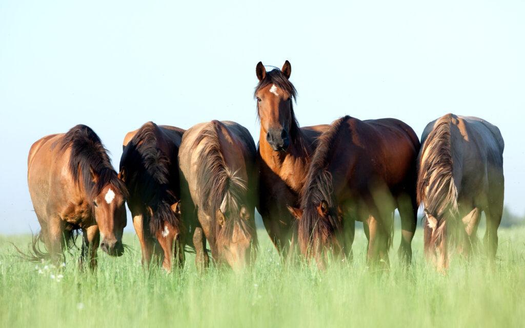 Sechs braune Jungpferde auf der Wiese