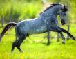 Graues Pferd galoppiert über eine Wiese