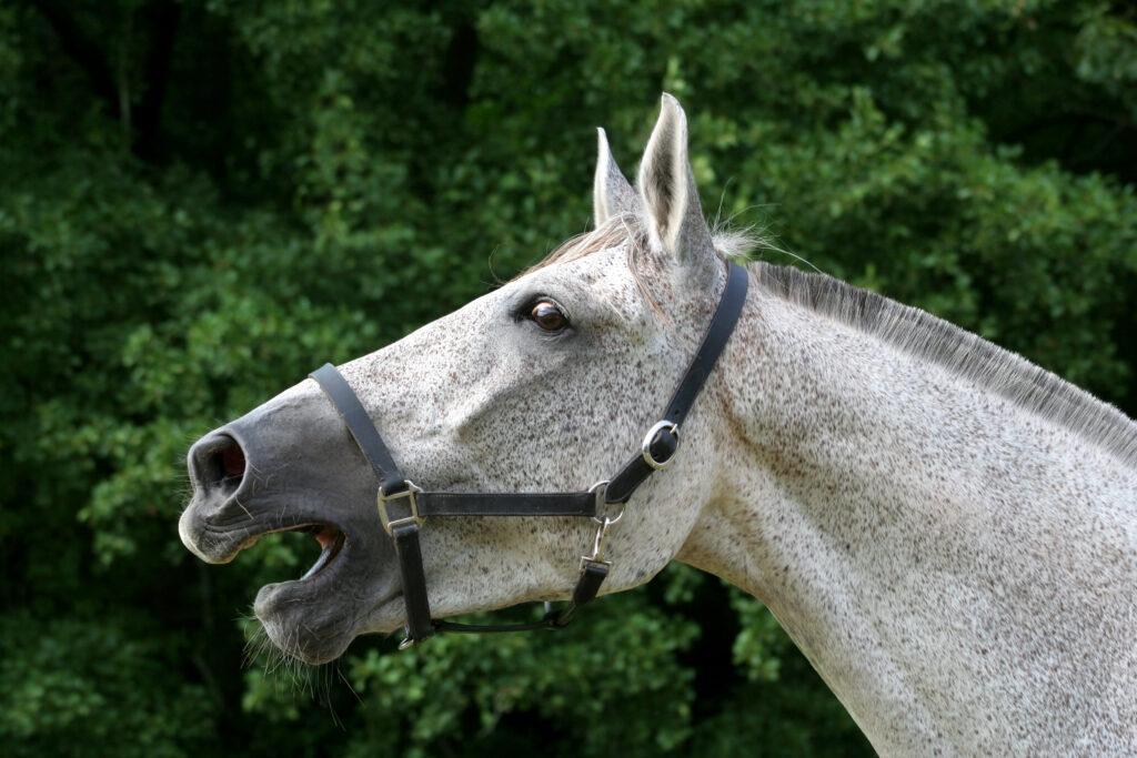 Weißes Pferd wiehert
