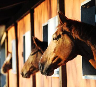Drei Pferde schauen aus den Boxenfenstern