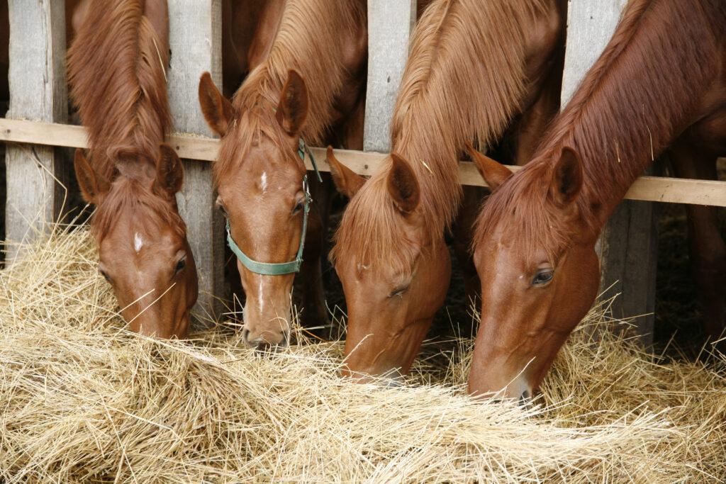 Vier junge Pferde fressen gemeinsam Heu