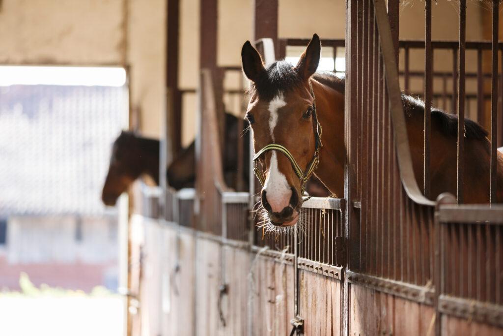 Drei Pferde schauen über ihre Boxentüren