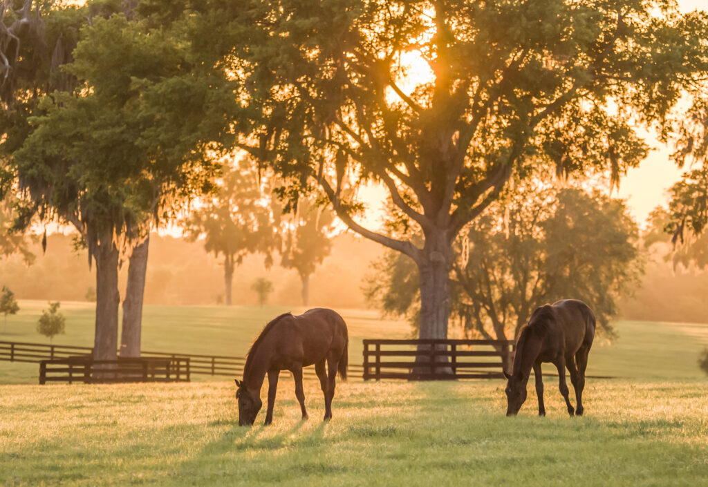 Zwei Pferde auf einer großen Weide unter den Bäumen im Sonnenaufgang