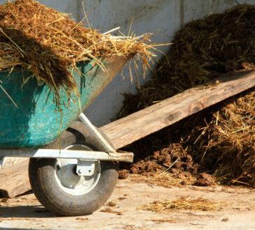 Pferdemist in einer Schubkarre, dahinter der Misthaufen
