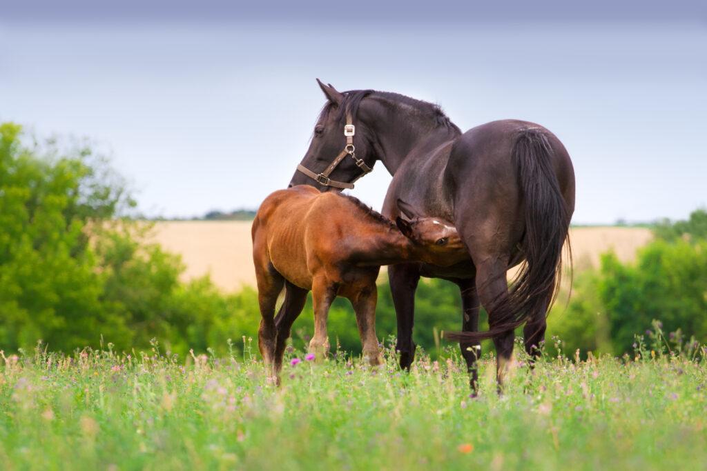 Braunes Fohlen trinkt bei seiner schwarzen Mutter