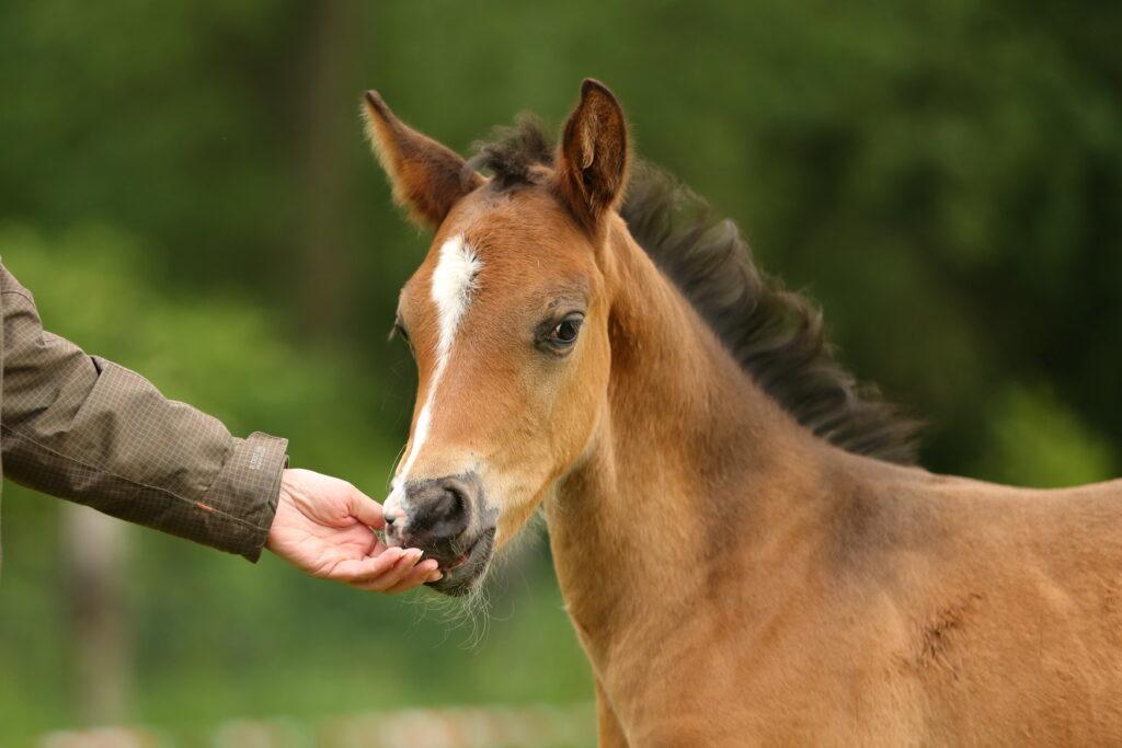braunes Ponyfohlen schnuppert an einer Hand