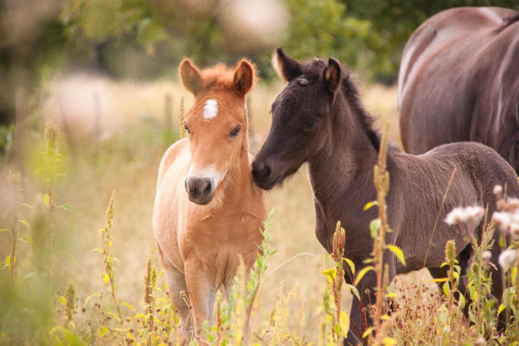 Ein hellbrauner und ein Dunkelbrauner Ponyfohlen im Hintergrund ein ausgewachsenes Pferd