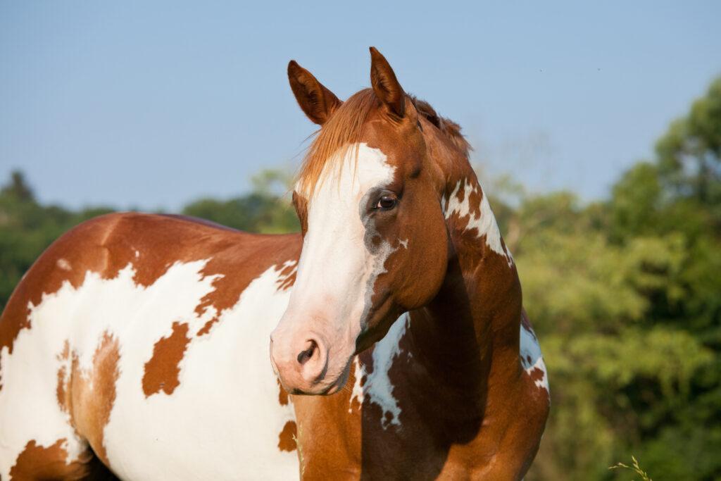 Braun weiß geflecktes Pferd mit rosa Nase