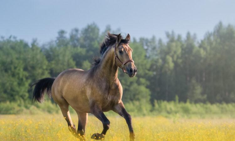 Pferd galoppiert auf einer Wiese