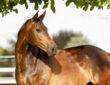 Braunes Pferd unter einem Baum schaut nach rechts