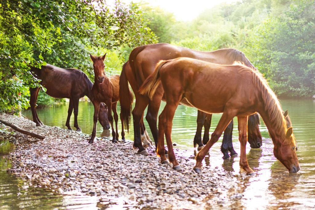 Fünf braune Pferde trinken an einem See