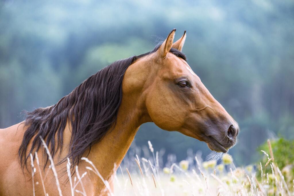 Quarter Horse auf einer Wiese schaut nach rechts